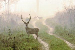 Spotted Deer during morning at Sarang Wildlife Santuary, Meghauli, Chitwan